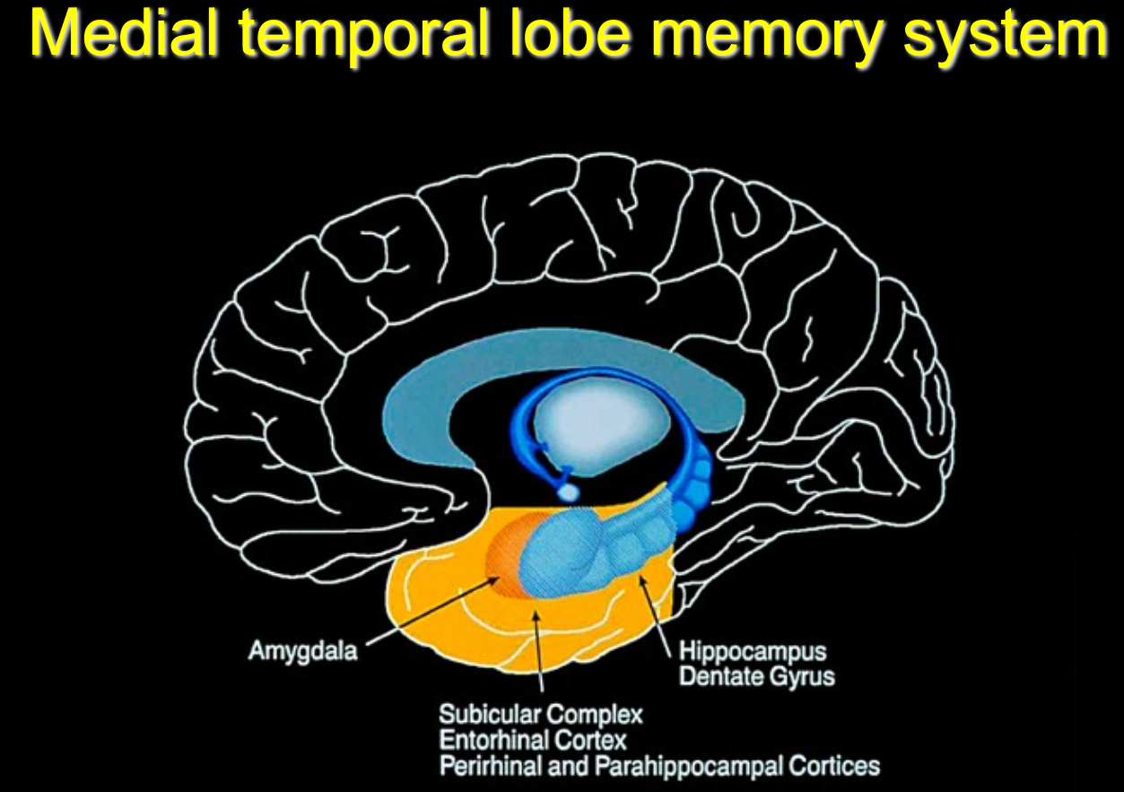 An image mapping and describing the medial temporal lobe memory system.